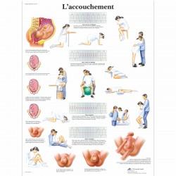 Planche anatomique - ACCOUCHEMENT