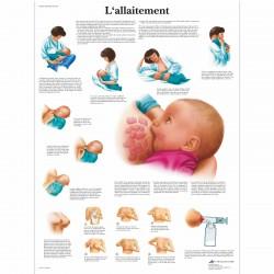 Planche anatomique - ALLAITEMENT